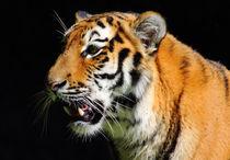 Tiger-1112