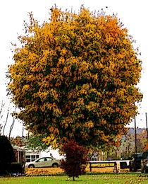 Magnificent Autumn TIme Tree von skyler
