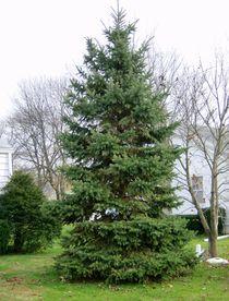 Beautiful Pine Tree von skyler