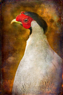 Finer Feathered Friends: Silver Pheasant von Alan Shapiro
