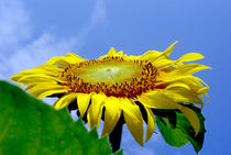 Sunflower Blossom by rainyart