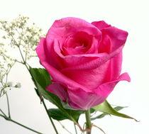 Rose von Kerstin Runge