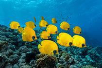 Reef Butterflys