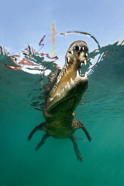 Npr-kuba-krokodil-002