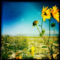 Salt Plain Sunflowers von Jenny Allport