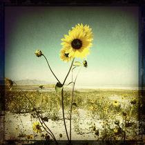 Muted Sunflowers von Jenny Allport