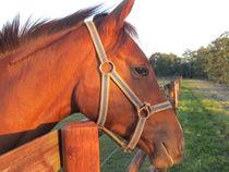 pferdekopf von der sonne verwöhnt von elfriede zitas