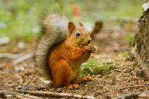 red squirrel von Yuliya Belonosova