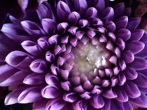 lovely dahlia by Jacqueline Schreiber
