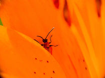 Feuerlilie mit Besucher von Günther Lippl