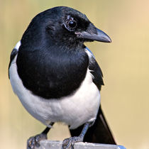 Mr. Magpie by Keld Bach