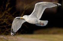 Herring Gull by Keld Bach
