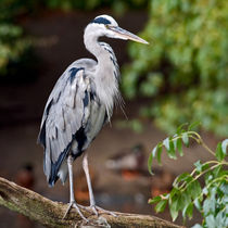 Grey Heron by Keld Bach