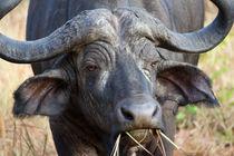 African Buffalo von Carinne Gamas