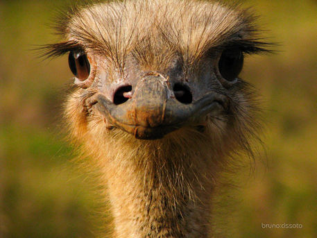 Happy-ostrich