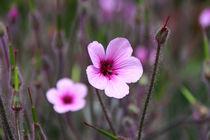 Geranium maderensis von Ralph Patzel