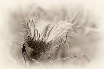 Cirsium arvense by Barbara  Keichel