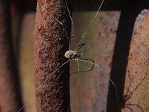 Spinne 2 von Lula Ahrens