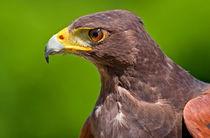 Hawk Profile von Keld Bach