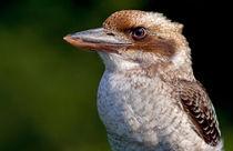 Kookaburra von Keld Bach