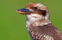 Cheerful Kookaburra by Keld Bach