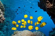 Sea-Butterflys by Norbert Probst