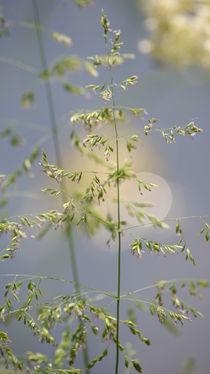 Grasblüte by Sylvia Raetsch
