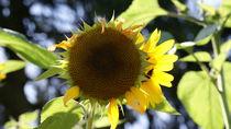 Sonnenblumen im Herbst by Sylvia Raetsch