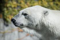 Polar Bear von safaribears