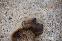 Resting Gelada by safaribears