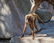 Gelada being upset by safaribears