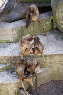 Gelada - The beauty parlour by safaribears
