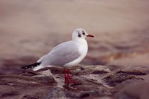 Seagull by syoung-photography