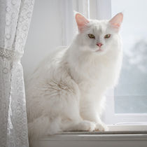 White cat on a windowsill by kbhsphoto