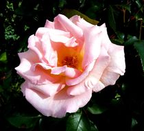 Light Pink Rose by John McCoubrey