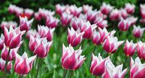 Tulpenmeer by Markus Strecker