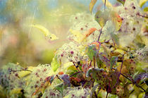 Wild Clematis Seed Heads by Dawn Cox
