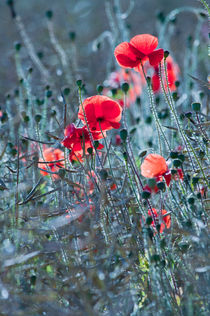 Poppies by Dawn Cox