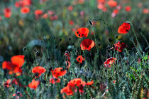 Corn Poppies von Dawn Cox