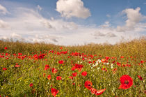 Fluffy clouds over a Poppy field von Dawn Cox