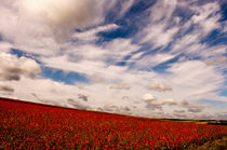 Poppy Field by Dawn Cox