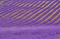 Lavender-and-flowers-0016