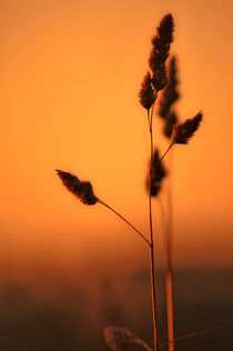 Wild grasses at Sunset by Dawn Cox