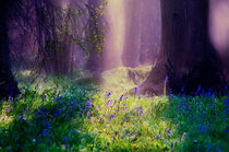 Enchanted Bluebell woods by Dawn Cox