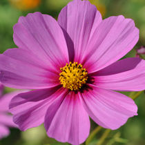 Lila Blume von Markus Strecker