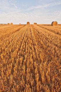 Wheat-fields-early-morning-0023