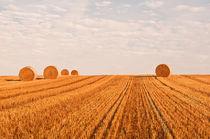 Wheat-fields-early-morning-0054