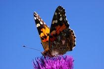 Schmetterling-29