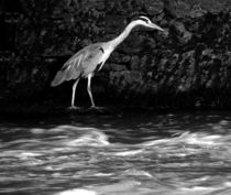 Black and White Grey Heron von John McCoubrey