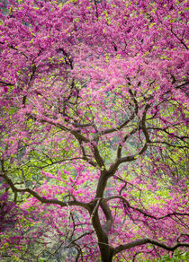 Redbud in full bloom by Christos Andronis